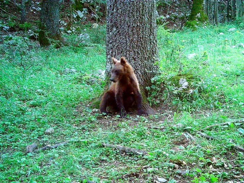 Buone notizie dal Parco. I cuccioli di orso sono in aumento e stanno bene.