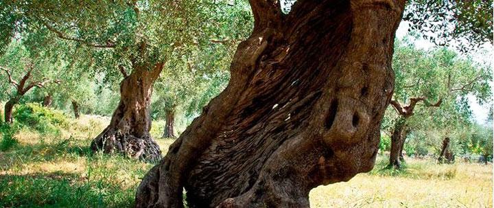 Venafro: Venolea 2017, il parco regionale dell'Olivo farà bella mostra di se. Una due giorni dedicata alla promozione e al territorio.