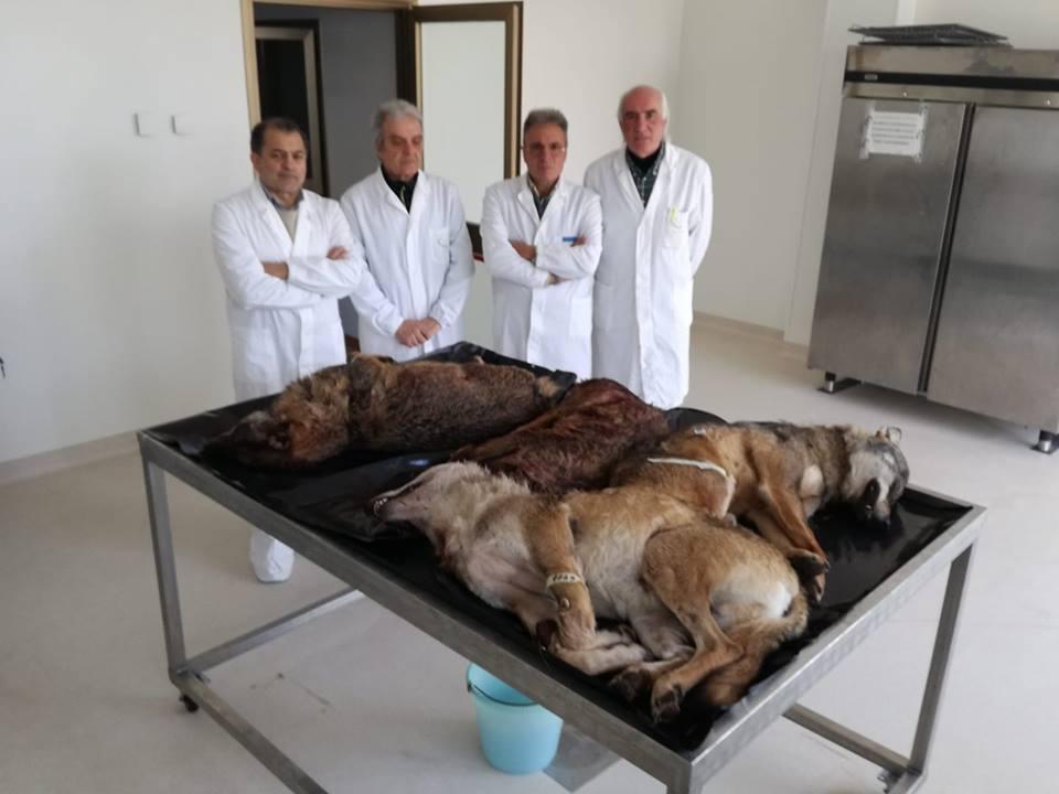 Isernia e Provincia: rivenuti ben cinque lupi adulti senza vita nel solo mese di dicembre.