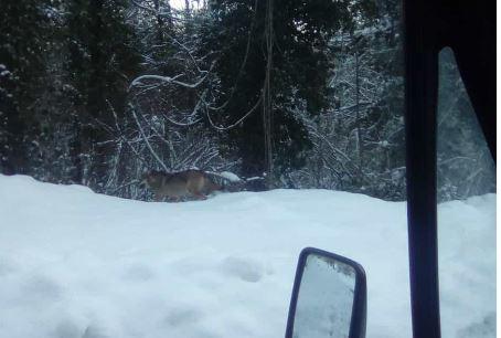 Rionero Sannitico: continuano gli avvistamenti di lupi. Diversi esemplari sul territorio di Montalto. Le neve fa avvicinare gli animali al centro abitato.