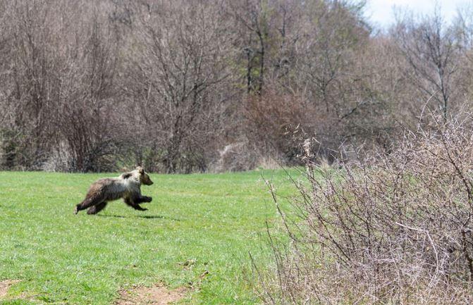 Parco Nazionale, sono 11 gli orsi nati nel 2018. La specie protetta cresce. Le ricerche concluse nei giorni scorsi dall'ente Parco.