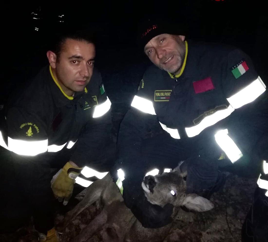 Agnone: i Vigili del Fuoco salvano un capriolo ferito.