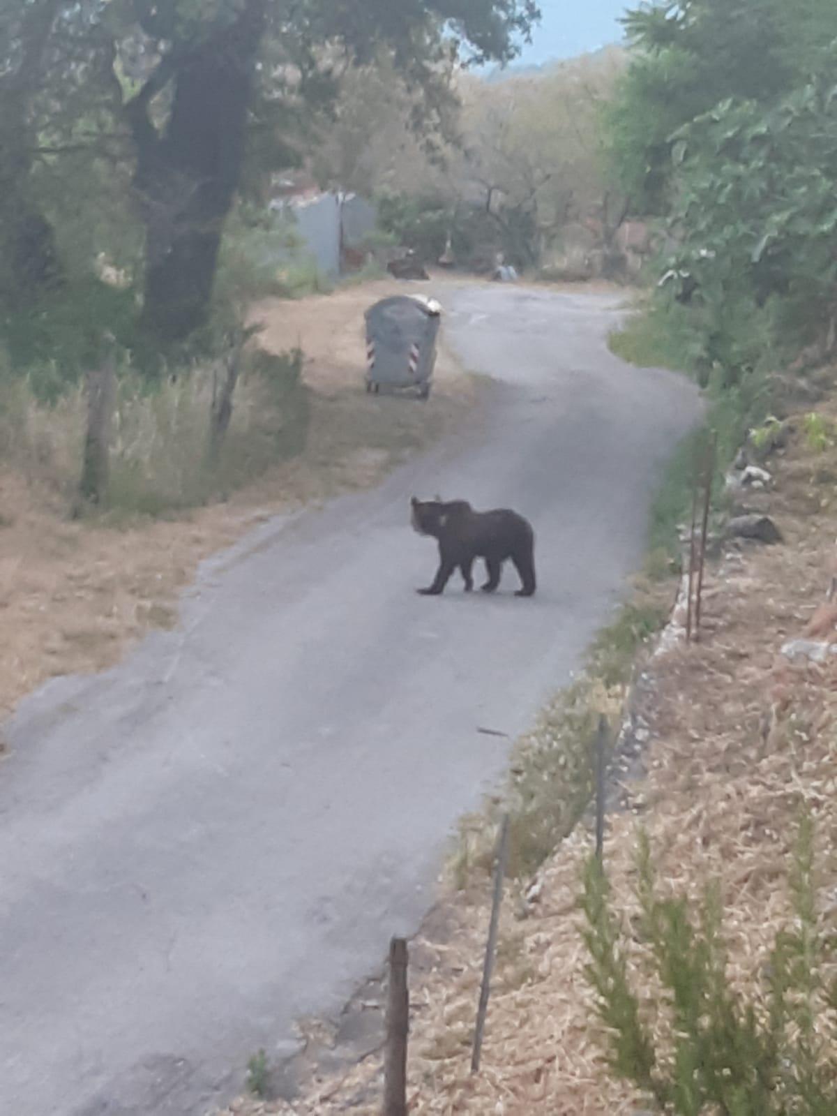 Valle del Volturno: Gli orsi avvistati sarebbero tre. Il Parco avvia i controlli