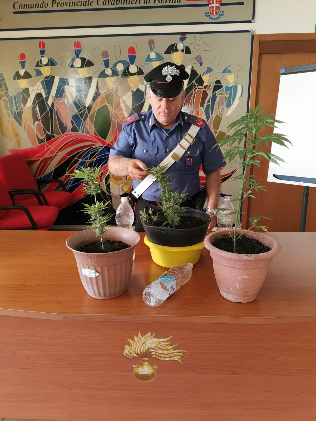 Longano: Tre piante di cannabis sequestrate dai Carabinieri.