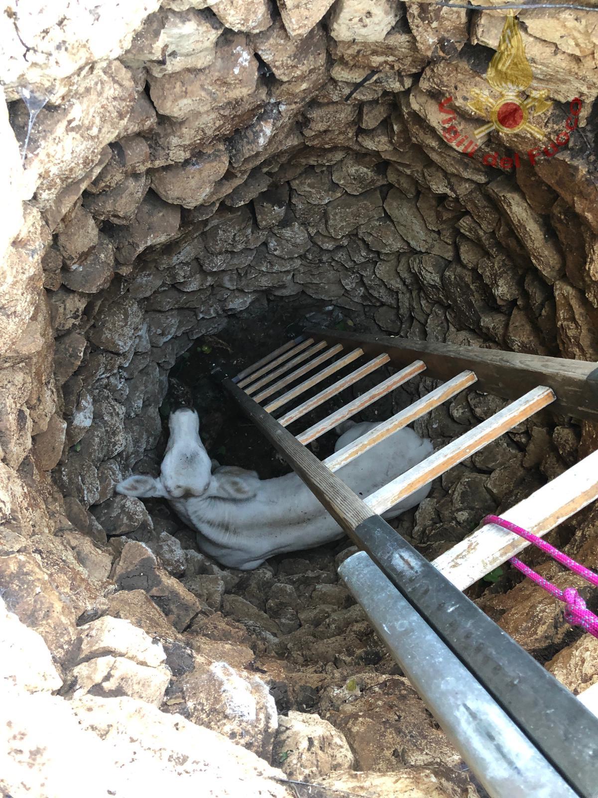 Filignano: i Vigili del Fuoco salvano la vita al vitellino Rocco caduto in un pozzo profondo 8 metri