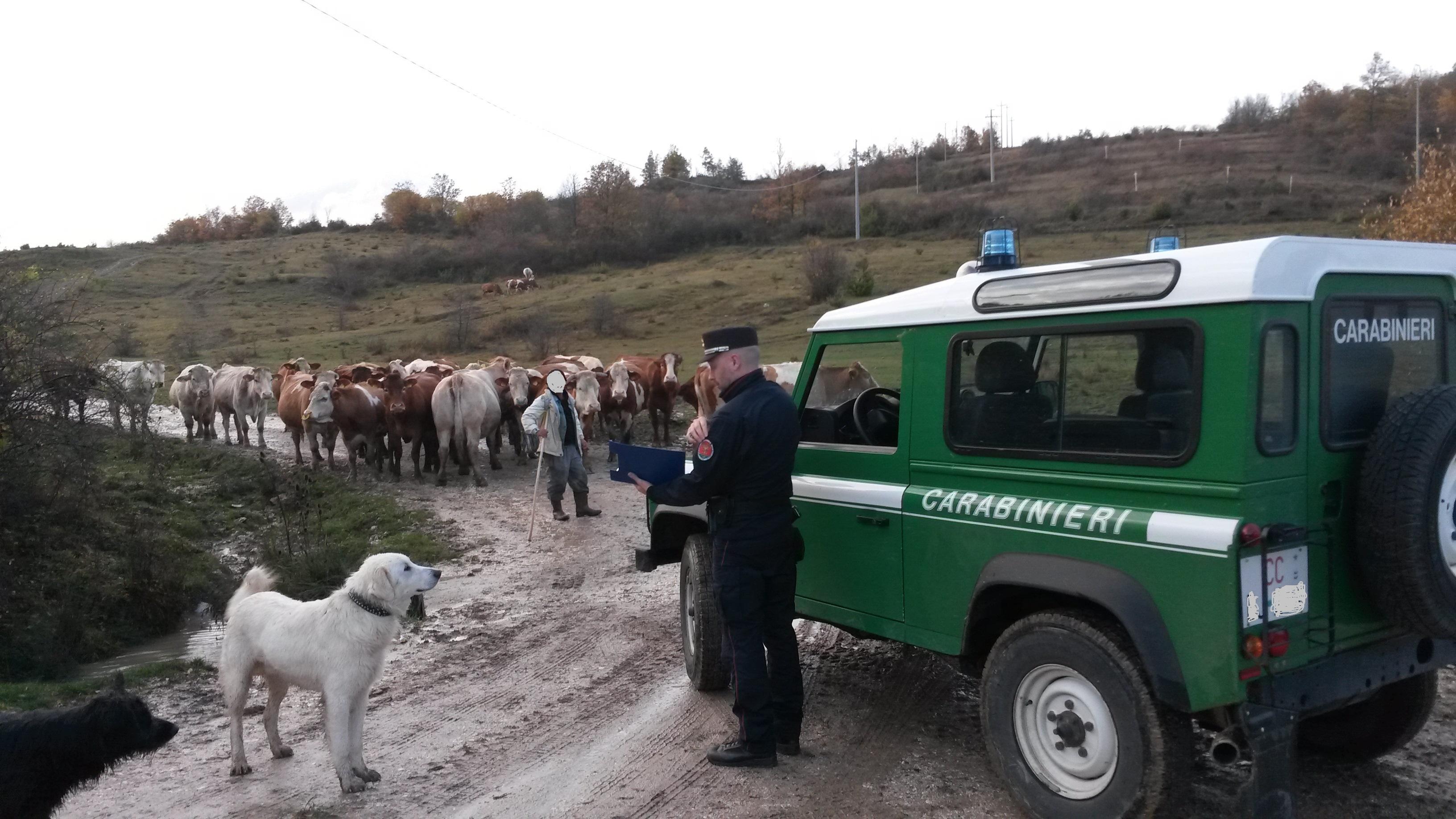 Isernia: controlli di Polizia Veterinaria da Parte dei Carabinieri Forestali. A Carovilli sanzionato un allevatore.
